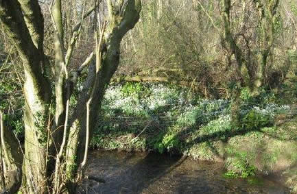 Photo of the snowdrops in woods by winscombe water meadows Feb 08